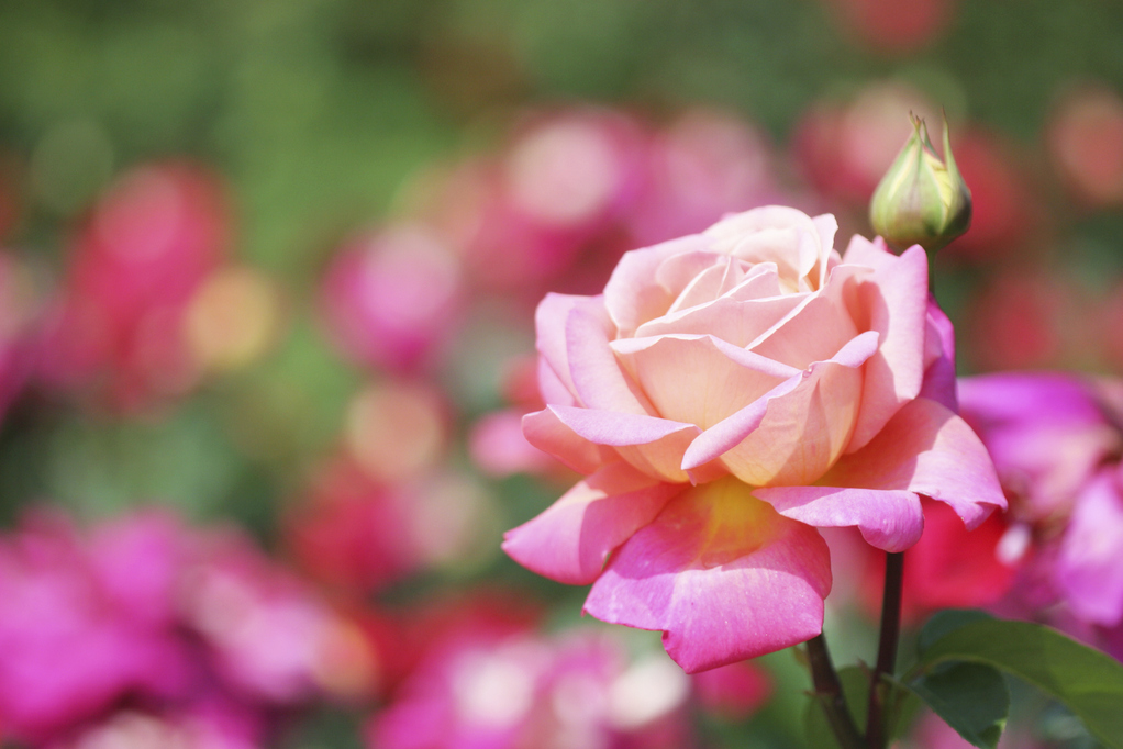 La Rose, fleur emblématique dans la parfumerie – au M.I.P
