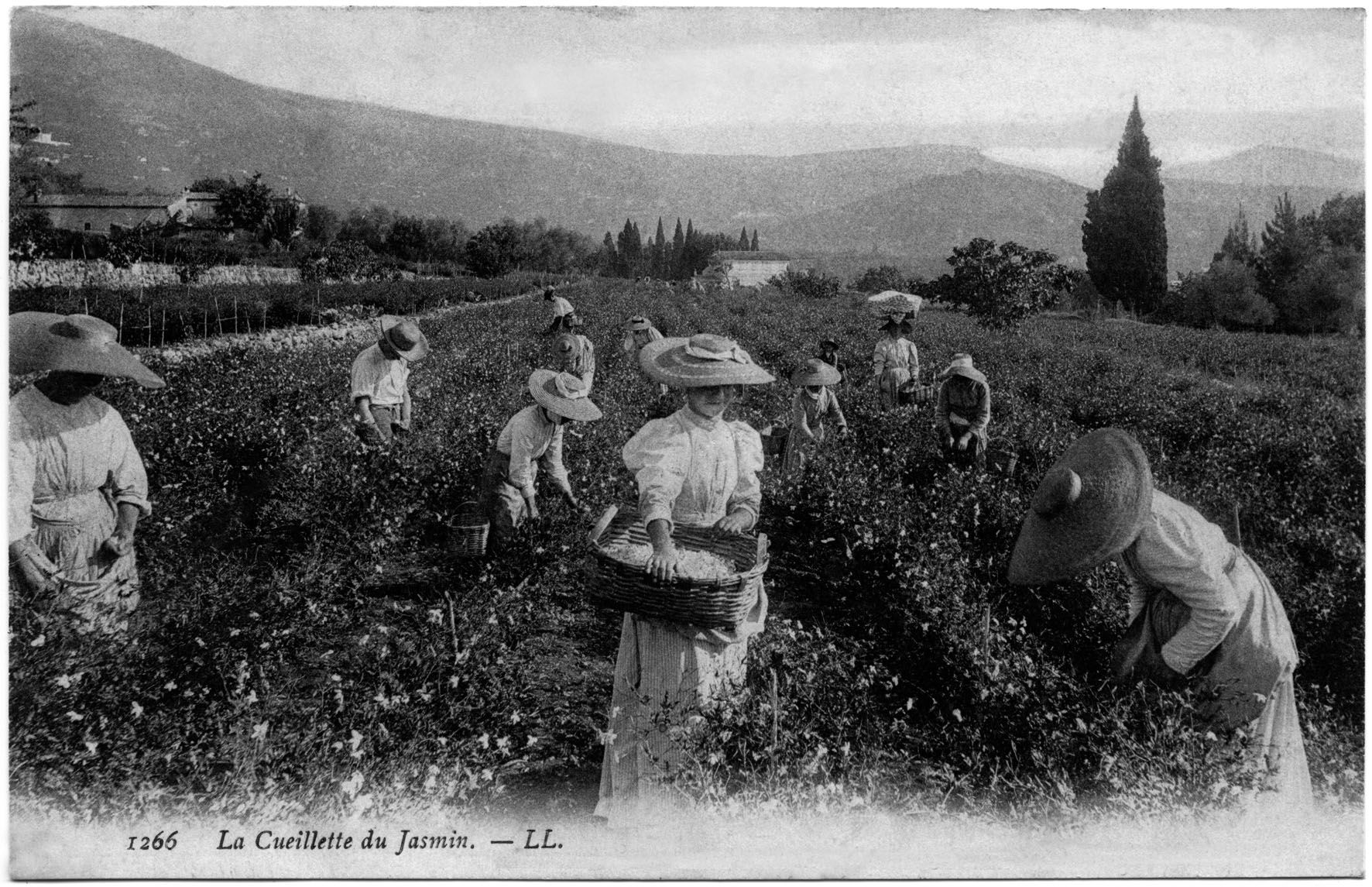 Conférence olfactive : Le jasmin, à la découverte de LA FLEUR